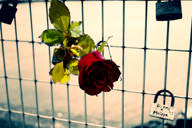 Rose among the Padlocks